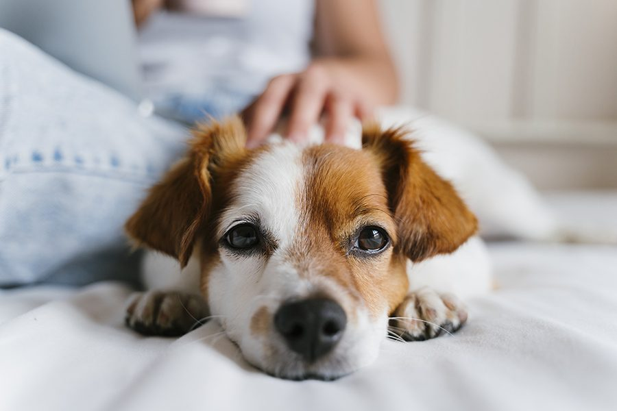 Enfield, NH - Closeup and Blurred View of Small Dog Laying on Bed While Being Pet by Owner