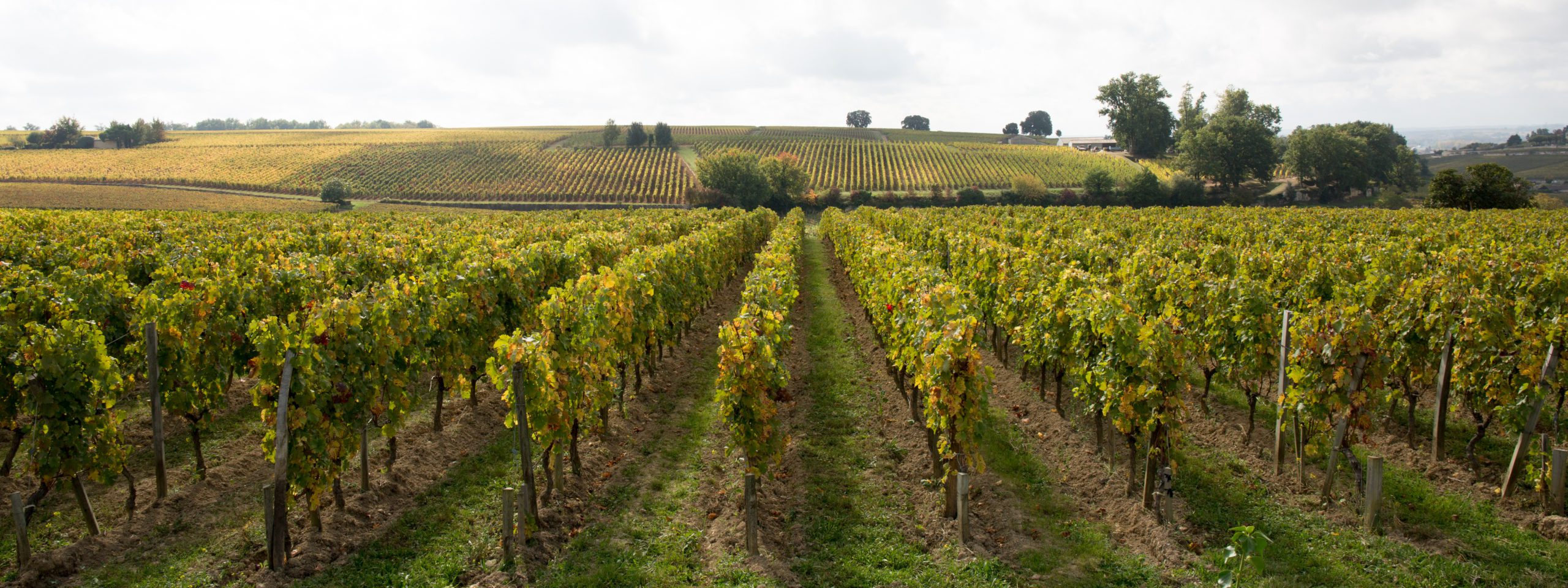 Blog - wineries rows of grape vines taken on a bright and sunny day