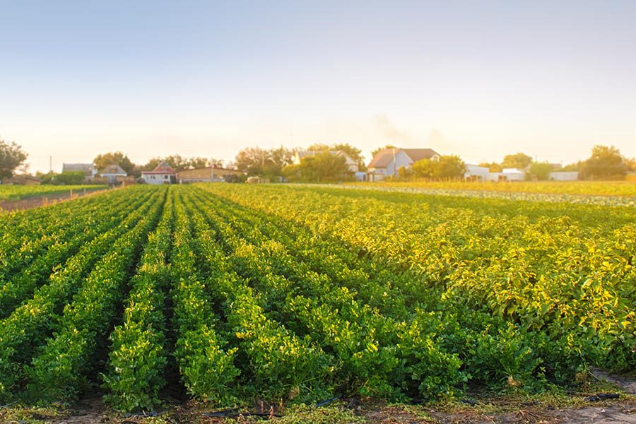 Specialized Business Insurance - Field at a Farm on Sunny Day with Rows of Healthy Plants