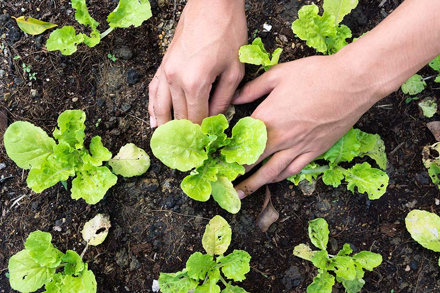 Agribusiness Insurance - View of Woman Planting Small Vegetable Plants in the Garden