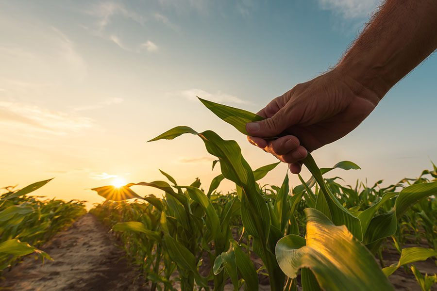 Crop Insurance - View of Farmer Touching His Corn Plants in the Field at Sunset