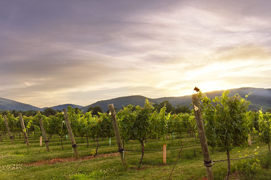 Contact - View of Grape Vineyard at Sunset with Views of Mountains in the Background in Charlottesville Virginia