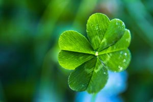 Lucky You Contest - Four Leaf Clover In The Sun With Dew On It