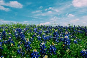 bluebonnet fields in texas