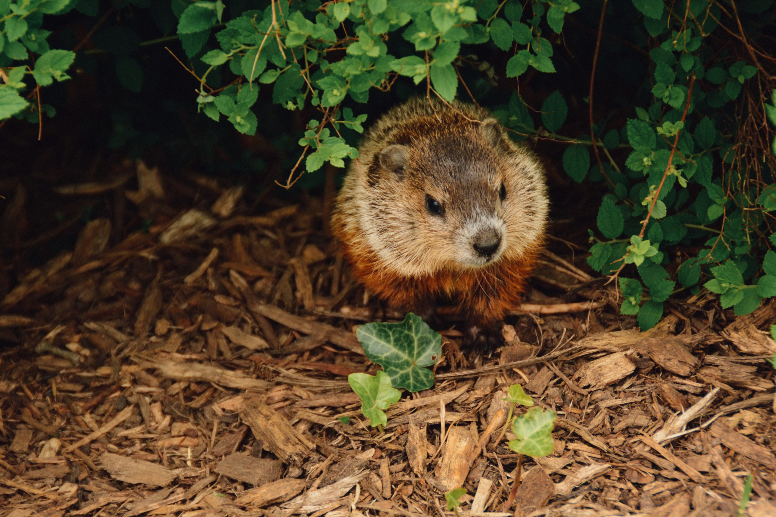 little groundhog peeking through bushes