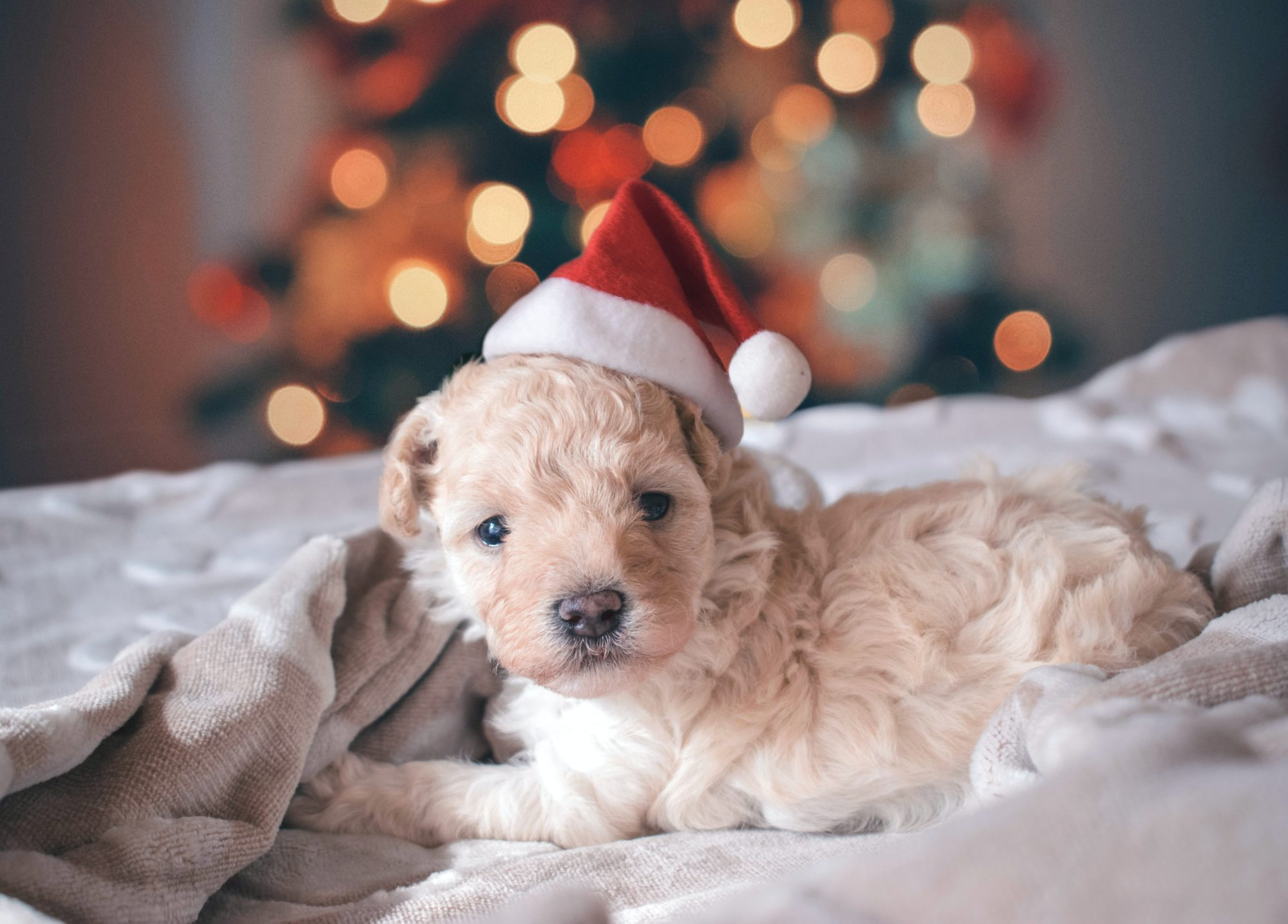 Tan puppy in Santa hat