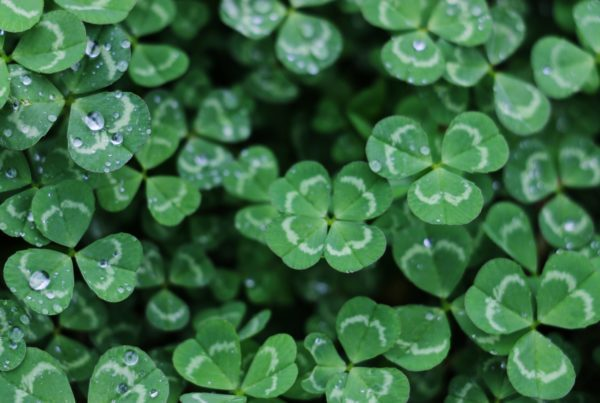 Three leaf clovers with droplets