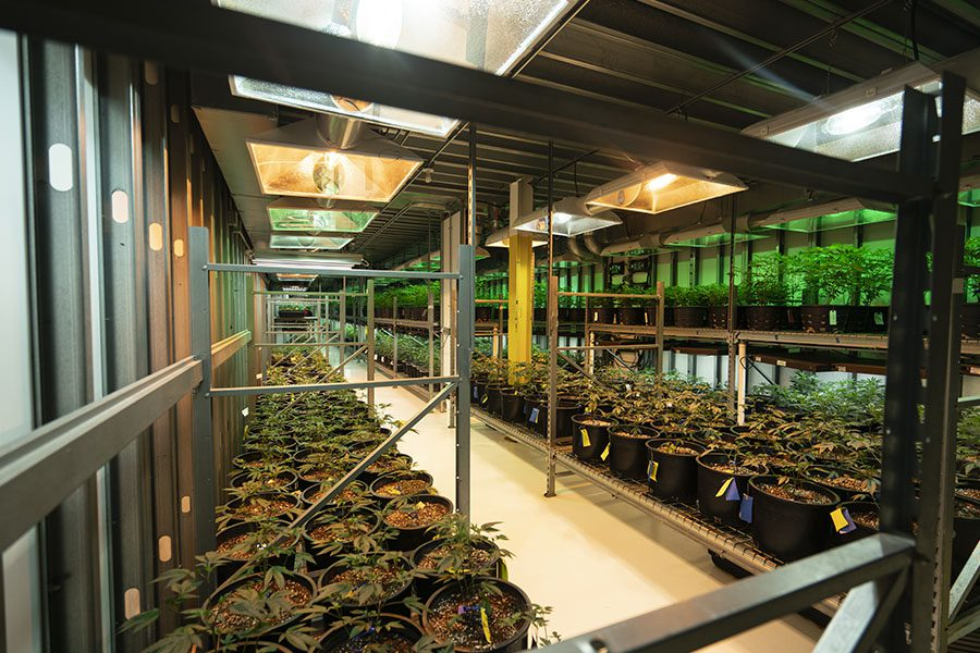 Cannabis Commercial Property Insurance - Cannabis Plants Growing In A Commercial Building