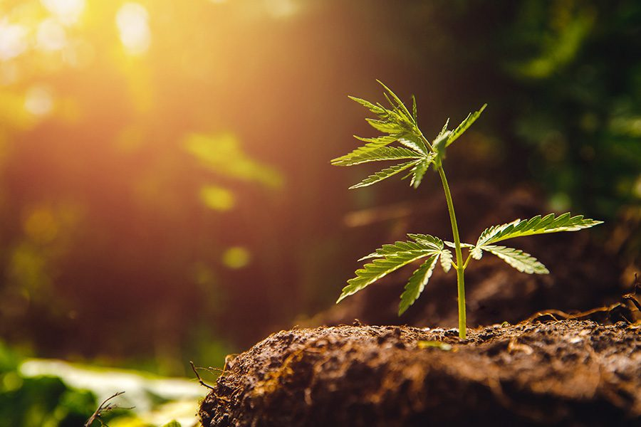 Cannabis Insurance - Cannabis Plant Growing In Soil With The Sun Setting In The Background
