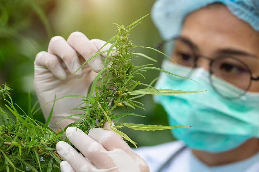Cannabis Workers Compensation Insurance - Cannabis Worker Picking Leaves Off A Cannabis Plant