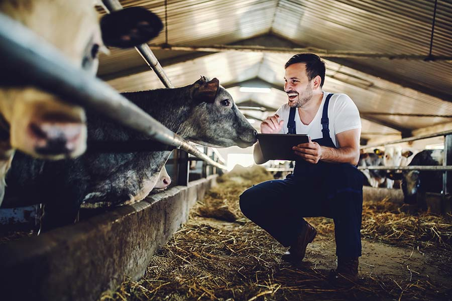 Insurance Quote - Happy Dairy Farmer with His Cows Using a Tablet