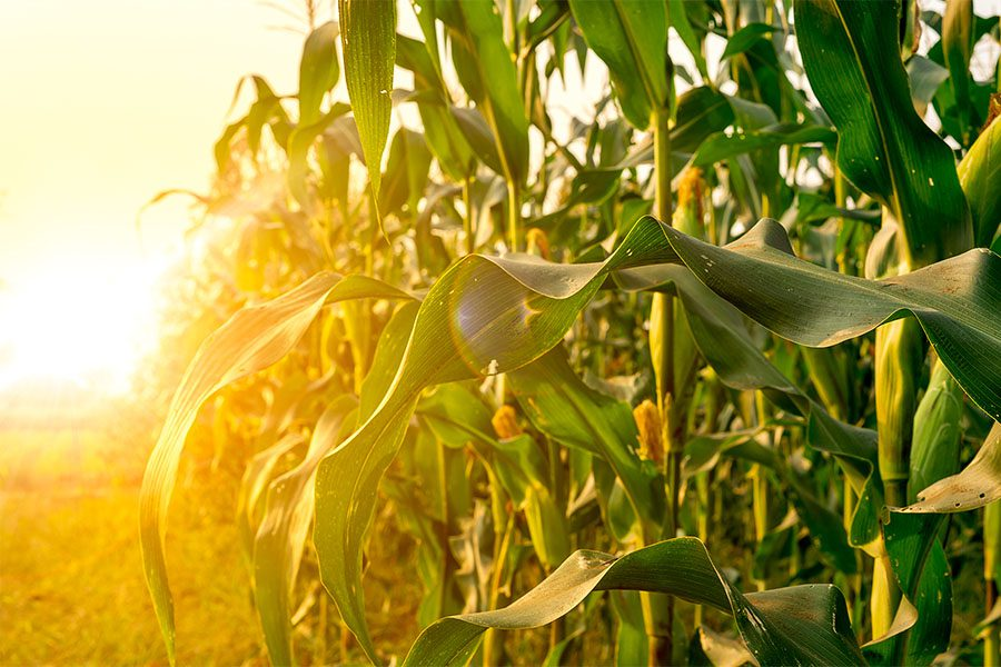Crop Insurance - View of Corn Field at Sunset