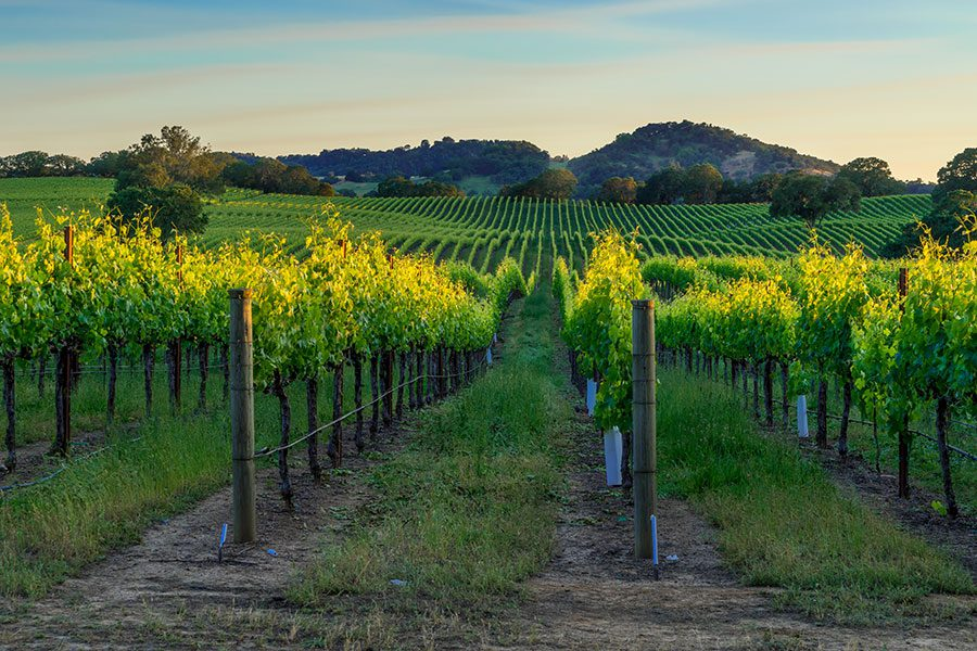 Specialized Business Insurance - Rows of Grapes in Vineyard in the Evening Sunset