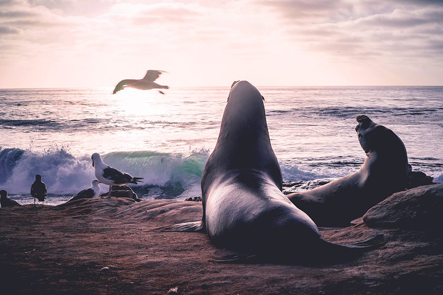 Seal Beach, CA - Seal and Sea Lion Enjoying the Sunset as a Bird Flies Over the Ocean