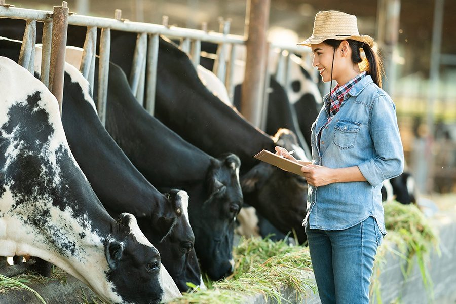 Livestock-Insurance-Farmer-Recording-Data-on-Her-Tablet-of-Dairy-Cows-in-Stalls-on-a-Farm
