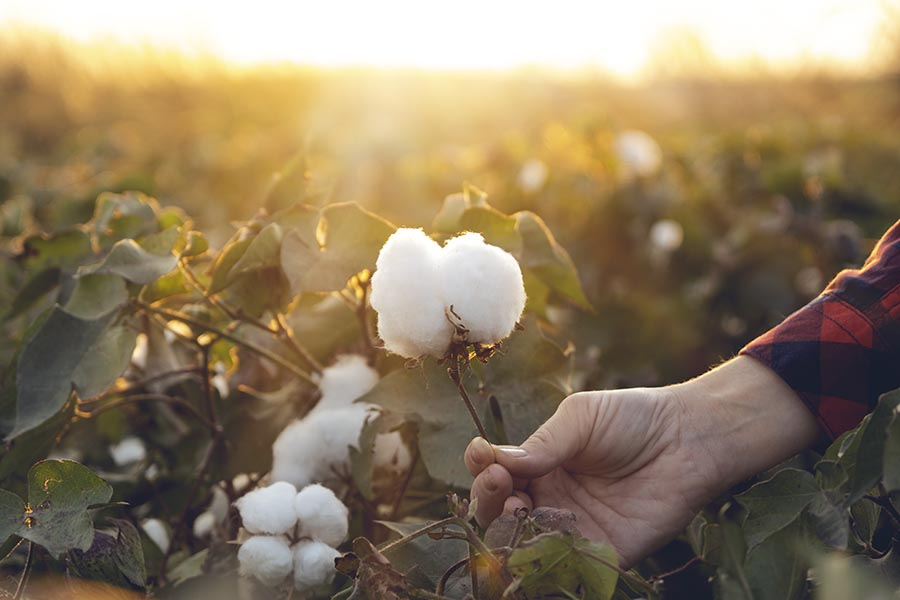 Specialized Business Insurance - a Woman Wearing Red and Black Checkered Flannel Holds the Stem of a Cotton Blossom, a Field of Cotton Stretching Behind Her at Sunrise