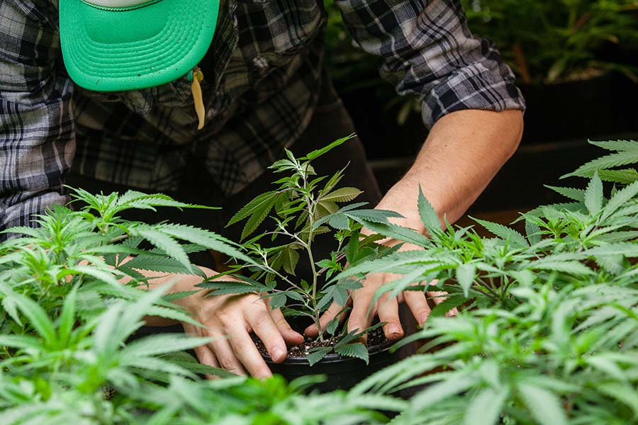 Cannabis Growers Insurance - Closeup View of a Man Taking Care of His Cannabis Plants in a Growing Facility