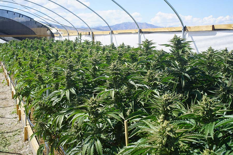 Cannabis Insurance - View of Cannabis Plants Growing in a Greenhouse with Views of Mountains in the Background