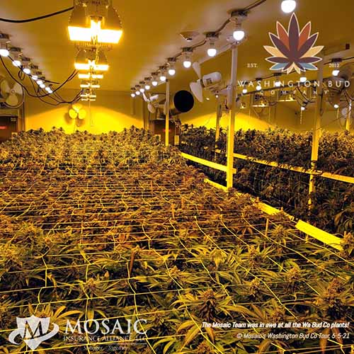 Blog - Top View of Awesome Cannabis Plants at WA Bud Co
