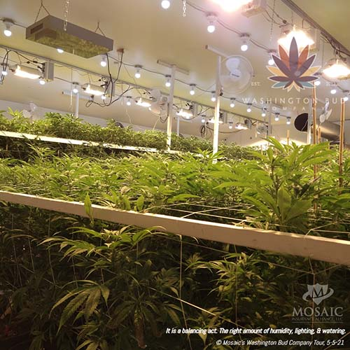 Blog - View of Top of the Cannabis Plants at WA Bud Co