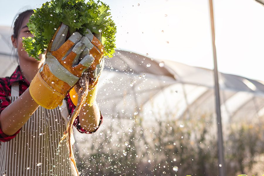 Specialized Business Insurance - Young Woman Farmer Harvesting Hydroponic Lettuce From Her Crops