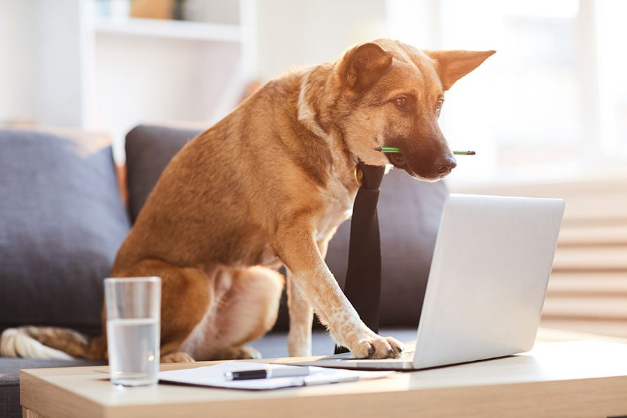 Insurance Quote - Dog Wearing a Tie with a Pencil in His Mouth Using a Laptop at Home