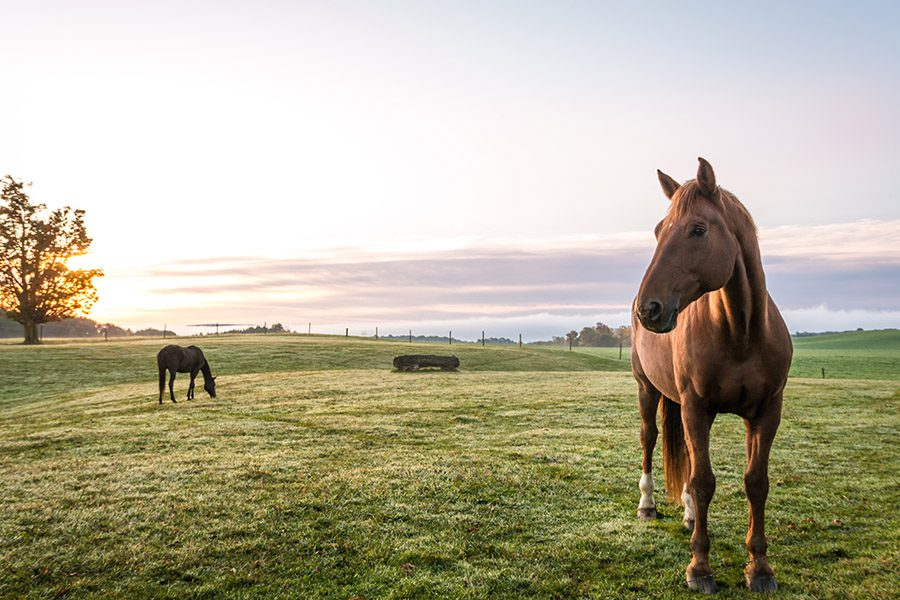 Attica, NY - Horses Grazing in Pasture on a Cold Morning at Sunrise in Upstate New York