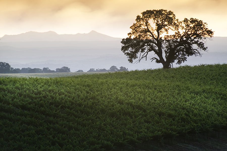 Contact - View of a Hillside Vineyard with a Tall Oak Tree at Sunset in Lodi California