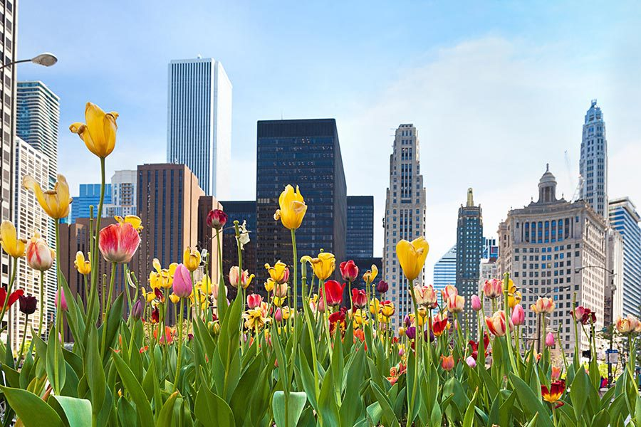 Lisle, IL Insurance - Low View of Chicago Buildings Seen From a Garden of Pink and Yellow Tulips, a Blue Sky Overhead