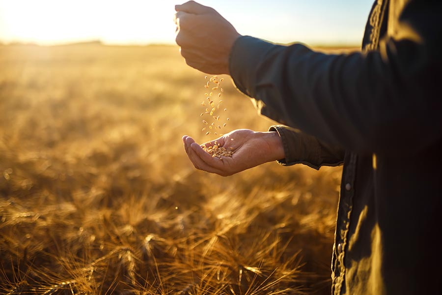 Agribusiness Insurance - Close Shot of Hands Holding Wheat in a Golden Field at Sunset