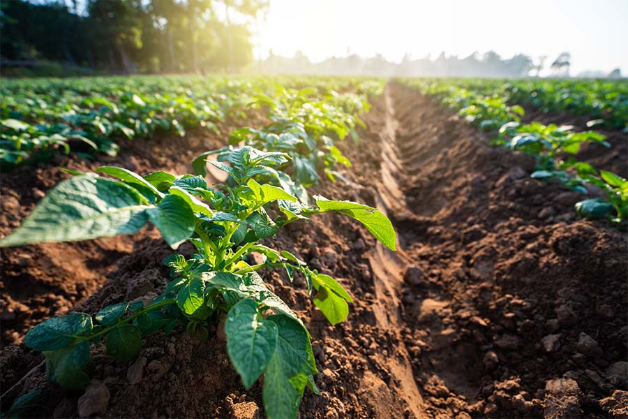 Specialized Business Insurance - Closeup View of Multiple Rows of Potato Plants on a Farm Field on a Sunny Spring Day