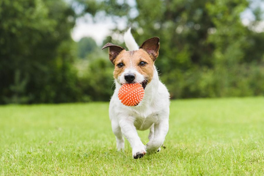 Blog - How to Keep Your Pet Cool in Summer - Jack Russell Playing