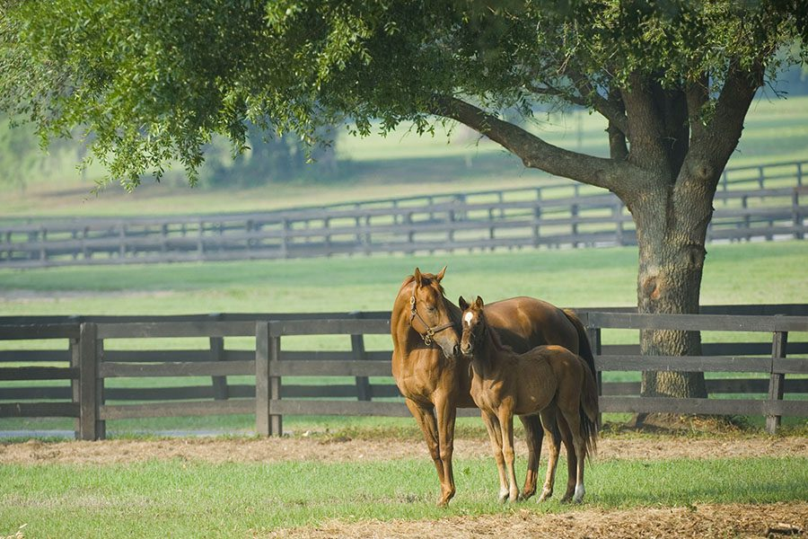 Bandera, TX - Beautiful Horse Mare and Foal in Green Farm Field With Fences Around