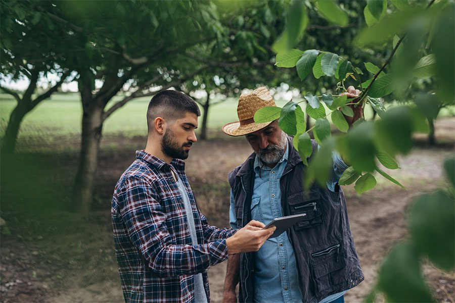 Agriculture Insurance - Closeup Portrait of Two Male Farmers Using a Tablet While Inspecting Their Walnut Trees on a Farm