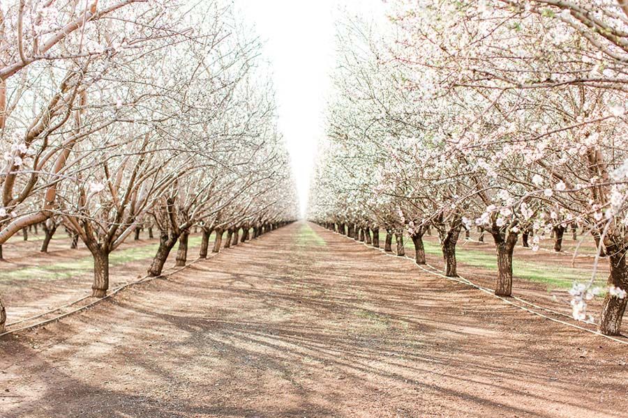 Insurance Quote - Scenic View of Road with Blooming Almond Trees on Both Sides on a Farm in California During the Spring