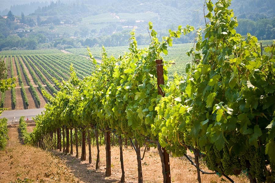 Specialized Business Insurance - Scenic View of a Row of Grapes Growing in a Vineyard in California on a Sunny Day
