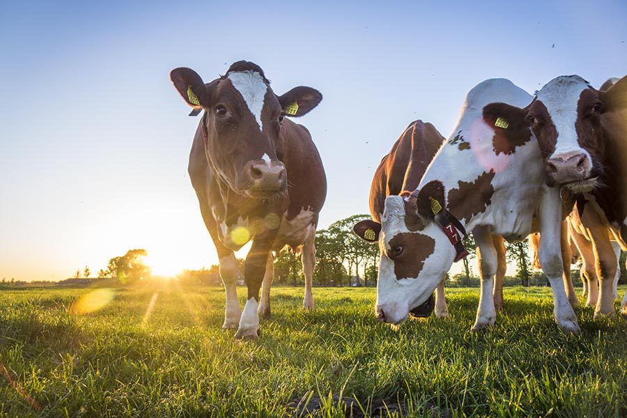 Specialized Business Insurance - Dairy Cows in a Field on a Farm at Dusk