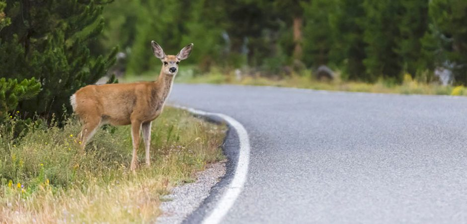 a deer standing on the side of a road