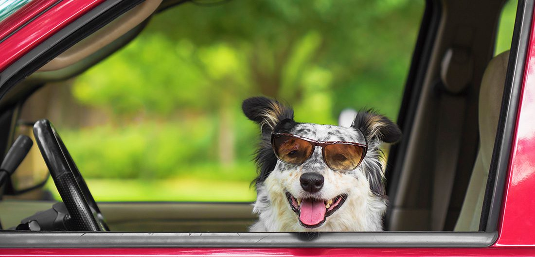 dog in driver