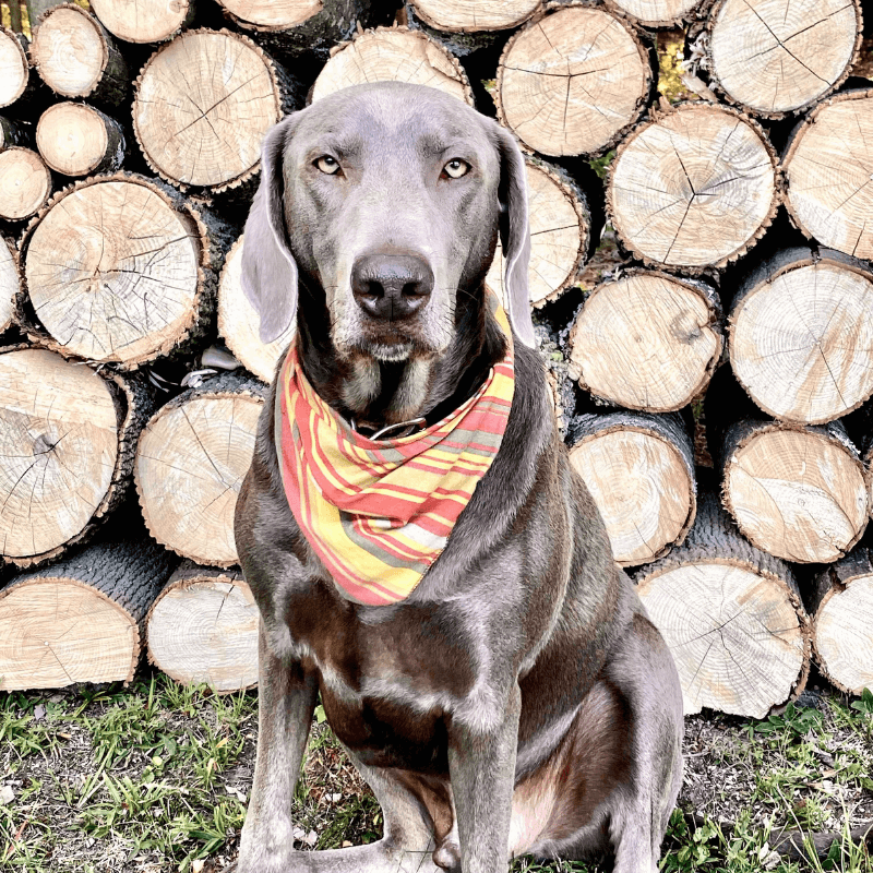 World Pet Day - Alexis Dog in Front of Wood Pile