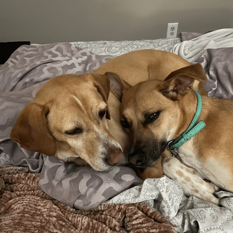 World Pet Day - Devons Dogs Laying Together